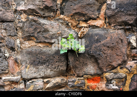 Efeu (Hedera SP.), wächst auf der alten Stadtmauer, Roethleinsberg Street, Kulmbach, Franken, Oberbayern