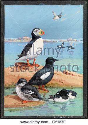 Ein Gemälde von einem Papageitaucher, schwarze Trottellummen und Dovekies. - Stockfoto