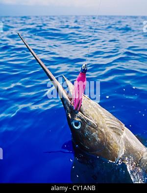 Süchtig Blue Marlin, Makaira Nigricans, Big Island, Hawaii, USA - Stockfoto