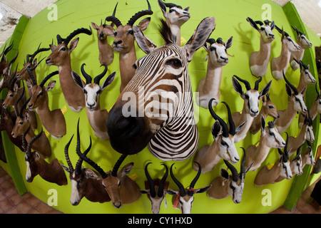 Präparatoren. Jäger aus den USA und Deutschland Wildtiere zu schießen und Dinge, die es als Trophäe Präparatoren - Stockfoto