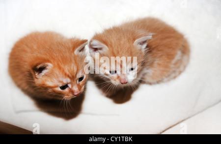 Zwei Kätzchen Ingwer drei Wochen alt - Stockfoto