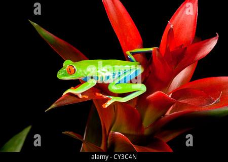 Red Eye Treefrog, Agalychnis Callidryas, heimisch in Zentral Amerika - Stockfoto