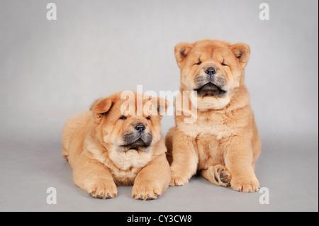Zwei kleine Chow-Chow Welpen Porträt - Stockfoto