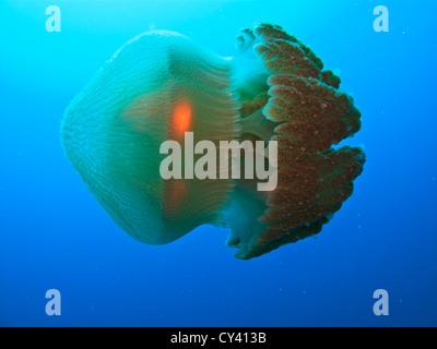 Nahaufnahme der box Quallen schwimmen auf seiner Seite in der Coral Sea am Great Barrier Reef in Australien - Stockfoto