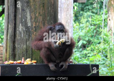 Bornean Orang-Utans (Pongo Pygmaeus), Sepilok Rehabilitation Centre, Sandakan District, Sabah, Borneo, Malaysia, - Stockfoto