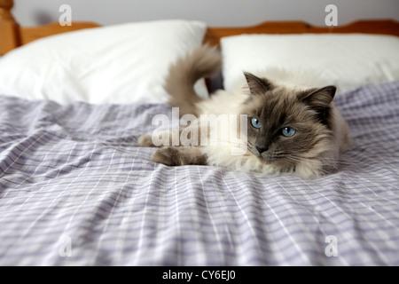 Ragdoll Katzen schlafen in einem Bett - Stockfoto