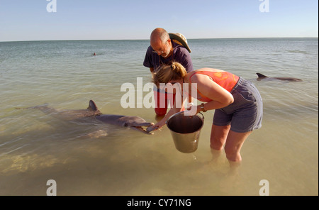 Fütterung der Fische zu einem Delphin in Monkey Mia Dolphin Resort in Western Australia Tourist. - Stockfoto