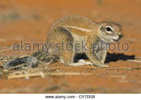 Cape Boden Eichhörnchen (Xerus Inauris) in der Wüste Kalahari, Kgalagadi Transfrontier Park, Northern Cape, Südafrika - Stockfoto