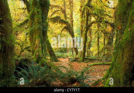 Halle der Moose Trail in Hoh Regenwald, Olympic Nationalpark, Washington. - Stockfoto