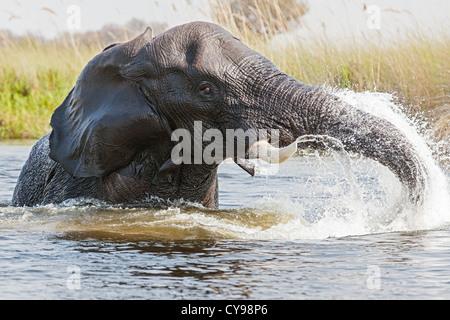 Nahaufnahme eines afrikanischen Elefanten (Loxodonta Africana) spielen in den Wasserkanälen des Okavango Deltas - Stockfoto