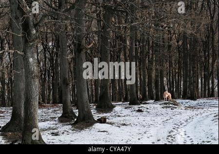 Ein Lurcher Hund allein in einer bloßen Winterlandschaft - Stockfoto