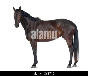 Belgisches Warmblut Pferd, 5 Jahre alt, stehen auf weißen Hintergrund - Stockfoto