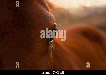 Schöne Nahaufnahme von einem Pferde-Auge in der goldenen Sonne - Stockfoto