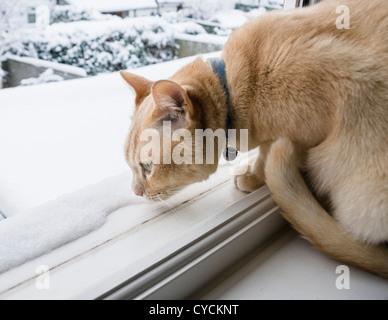 Ein Ingwer Burmese Cat schnüffeln der Schnee von der Sicherheit einer Fensterbank im Winter - Stockfoto