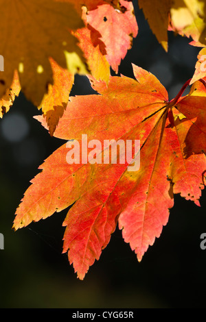 Downy japanischer Ahorn 'Vitifolium' (Acer Japonicum) Blätter, Herbst - Stockfoto