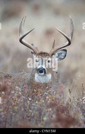 Whitetail Buck posiert in Johanniskraut, Western Montana - Stockfoto