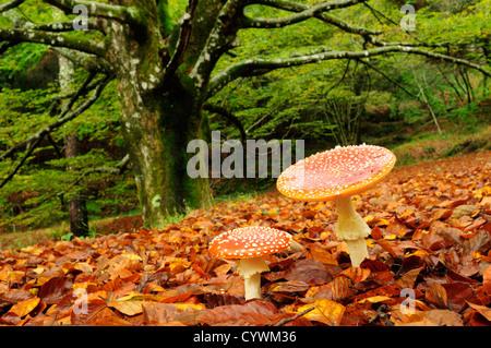 Fliegenpilz (Amanita Muscaria) - Stockfoto