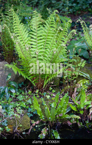 Pflanzen, Farne, Blätter von Dryopteris Filix-Mas oder Wurmfarn unfurling neben einen Gartenteich mit einem Hart - Stockfoto