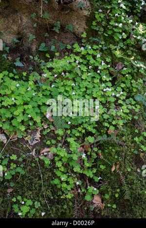 oxalis acetosella wachsen im kofferraum oxalidaceae familie pflanze sauerklee oder halleluja. Black Bedroom Furniture Sets. Home Design Ideas