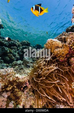 Ein Rotes Meer Clownfisch schwimmt in der Nähe ihrer Host-Anemone im seichten Wasser - Stockfoto