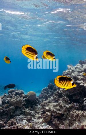 Ein Schwarm von maskierten Butterflyfish Schwimmen im flachen Wasser um ein tropisches Korallenriff - Stockfoto