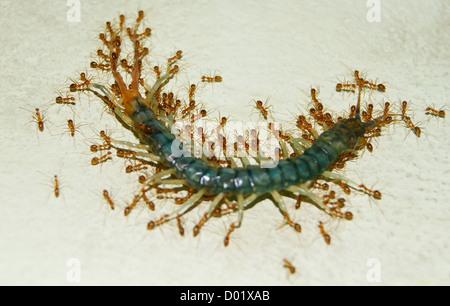 Gruppe von Ameisen ziehen und tragen einen Toten Tausendfüßler - Stockfoto
