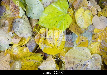 Gefallene Blätter der Linde auf dem Boden liegend verwesenden - Stockfoto
