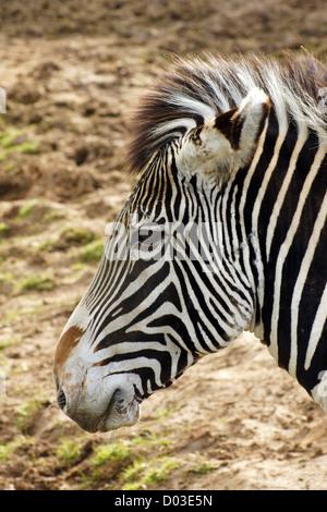 Das Zebra von Grévy, auch als kaiserliches Zebra bekannt, ist das größte lebende Wildequid und die am meisten bedrohte der drei Zebraarten
