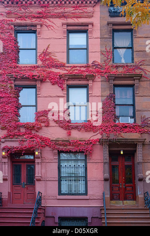 Harlem Brownstone Side by Side mit rosa Efeu, New York, USA - Stockfoto