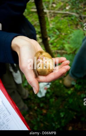 Eine Haselmaus gewogen und für eine Conservation Project, England, UK gemessen. - Stockfoto