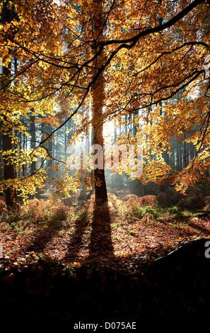 Buche, Marsham Wald, Norfolk, england - Stockfoto