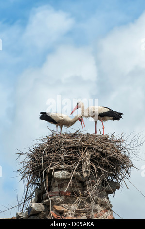 Paar Weißstörche (Ciconia Ciconia) auf dem Nest, Izmir Province, Ägäis, Türkei - Stockfoto