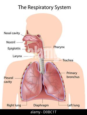 Das Atmungssystem, beschriftet - Stockfoto