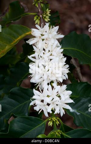Kaffee Blüte auf einer Kaffeeplantage in Kauai, Hawaii Stockfoto ...