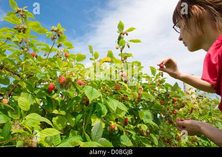 Eine junge Frau, die Kommissionierung Himbeeren auf einer Obstplantage. - Stockfoto