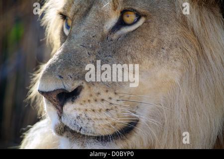 Afrikanische Löwe Panthera Leo in Ruaha Wildreservat. Südlichen Tansania. Afrika Stockfoto