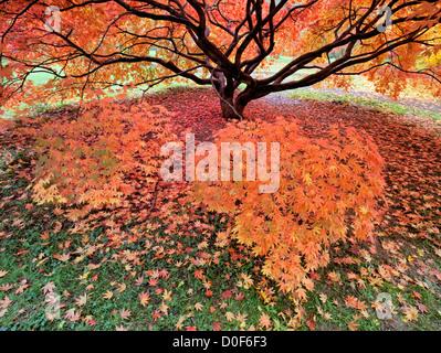 Japanische Ahorn im Herbst Farbe, Westonbirt National Arboretum, Golucestershire, England, UK - Stockfoto