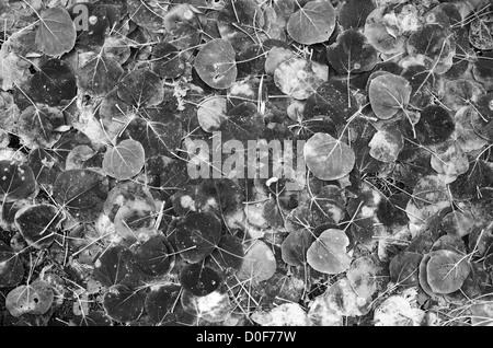 schwarzen und weißen Hintergrundbild von aspen Laub auf dem Boden