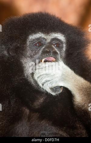 White-handed oder Lar Gibbon (Hylobates Lar) - Stockfoto