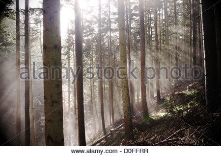 Die Strahlen der Sonne Strahlen durch die Bäume in einem walisischen Wald, UK. - Stockfoto