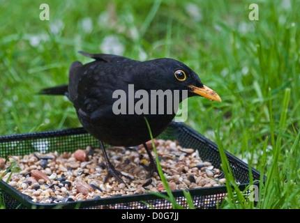 Amsel-Männchen (Turdus Merula) am Futterhäuschen Tablett, UK - Stockfoto