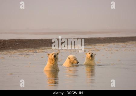 Drei weibliche Eisbären mitspielen der Arctic National Wildlife Refuge - Stockfoto