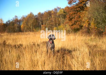 Ein Deutscher Kurzhaariger Vorstehhund arbeitet das lange Gras - Stockfoto