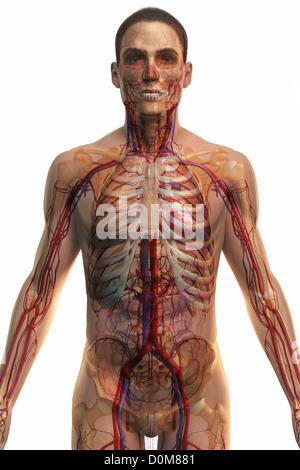 Vorderansicht des Herz-Kreislauf-Systems des Oberkörpers Stockfoto ...