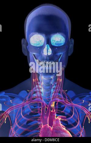 Stilisierte Frontalansicht von Kopf und Hals mit Knochen und großen ...