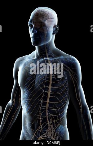 Das Gehirn und die Nerven des Oberkörpers Stockfoto, Bild: 276989757 ...