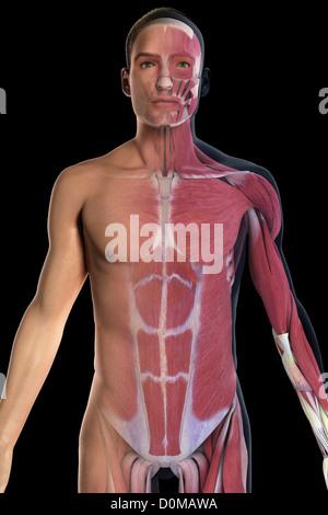 Ein menschliches Modell zeigt die äußeren schrägen Bauchmuskel ...