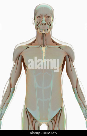 Anatomisches Modell zeigt die menschliche Muskulatur Stockfoto, Bild ...