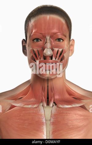 Ein menschliches Modell zeigt die Nackenmuskulatur Stockfoto, Bild ...