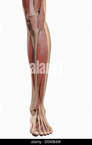Ein menschliches Modell zeigt die Fuß und Bein Muskeln Stockfoto ...